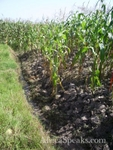 KVDS research corn field