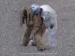 TT masqueraders: Gorillas