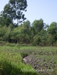 Prepped agricultural land,foreground & Eucalytus, background