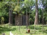 Young Eucalyptus stand